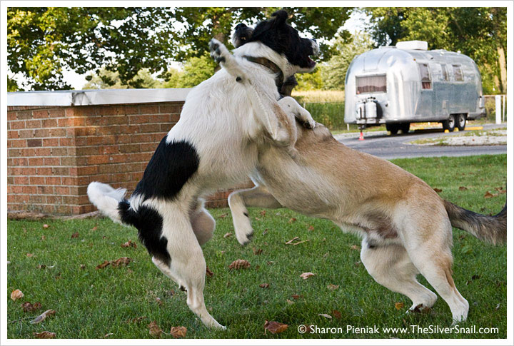 dogs sparring